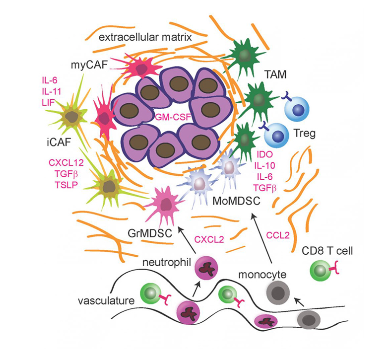 A graphic that depicts the immune-suppressive TME